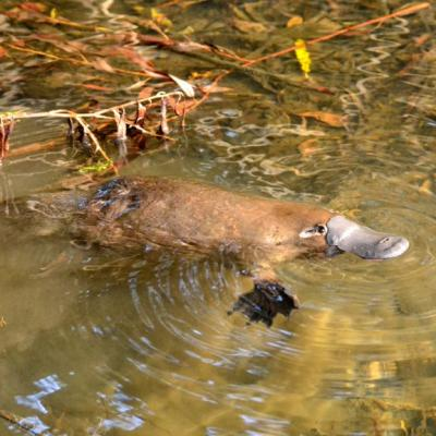 platpus yungaburra peterson creek wildlife walk